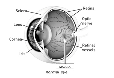 normal_eye_macula